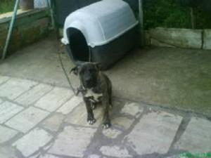 cane a catena