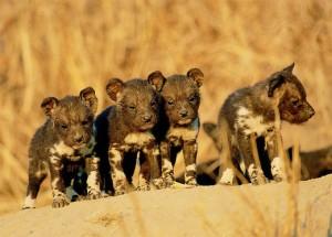 cuccioli africani