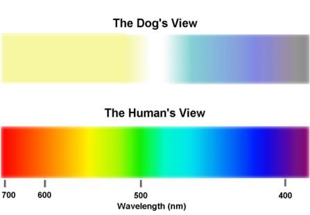 visione comparata uomo-cane