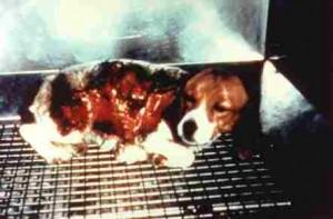 Questo cane e' stato utilizzato in esperimenti sulle conseguenze delle gravi ustioni presso il Shriner's Hospital, Cincinnati, USA Foto proveniente dalla associazione americana P.E.T.A. (Epoca: anni '80-'90)